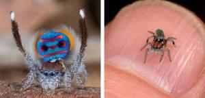 Arañas Pavo Real